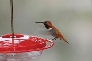 rufous and high perch
