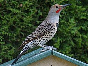 Norther Flicker - Red-shafted
